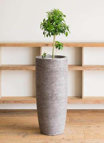 観葉植物 フィカス ナナ 7号 ノーマル エコストーントールタイプ Gray 付き