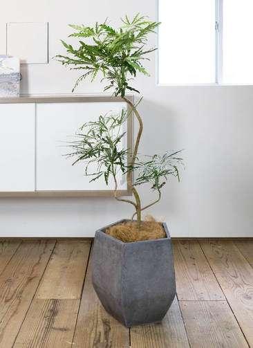 観葉植物 グリーンアラレア 8号 曲り ファイバークレイ Gray 付き