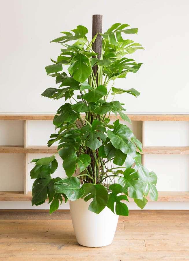 観葉植物 モンステラ 10号 ヘゴ柱 ラスターポット 付き