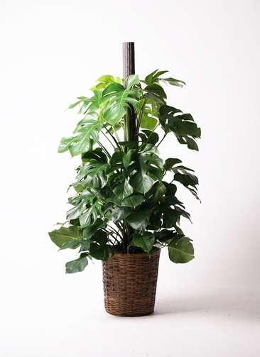 観葉植物 モンステラ 10号 ヘゴ柱 竹バスケット 付き