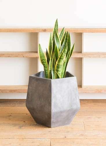 観葉植物 サンスベリア 10号 トラノオ ファイバークレイGray 付き