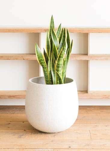 観葉植物 サンスベリア 10号 トラノオ エコストーンwhite 付き