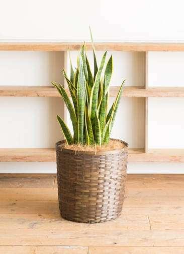 観葉植物 サンスベリア 10号 トラノオ 竹バスケット 付き