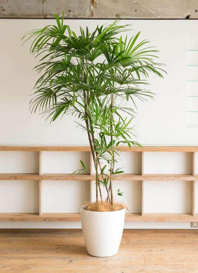 観葉植物 シュロチク(棕櫚竹) 10号 ラスターポット 付き