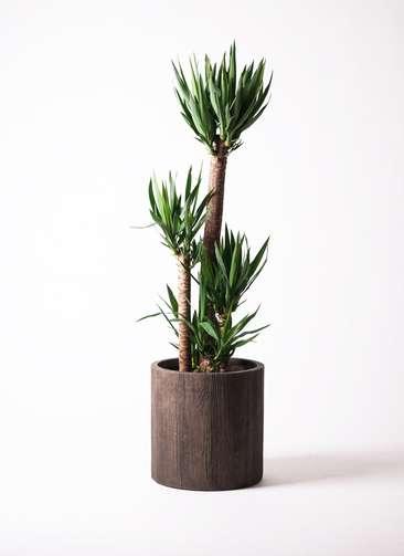 観葉植物 ユッカ 10号 ノーマル アルファシリンダープランター 付き