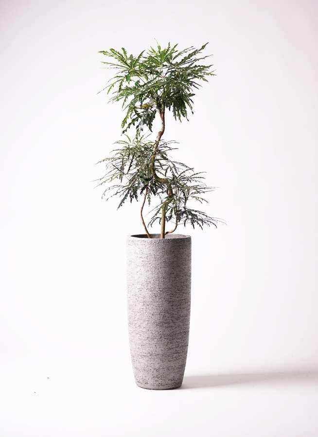 観葉植物 グリーンアラレア 8号 曲り エコストーントールタイプ Gray 付き