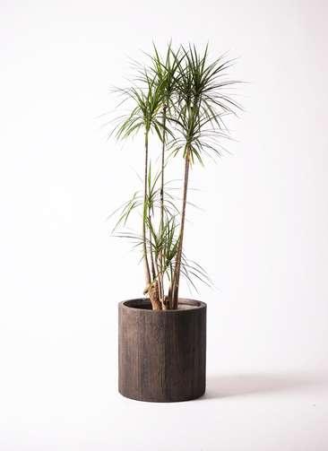 観葉植物 ドラセナ コンシンネ 10号 アルファシリンダープランター 付き