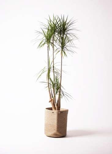 観葉植物 ドラセナ コンシンネ 10号 寄せ リブバスケットNatural 付き