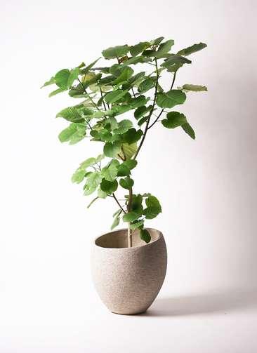 観葉植物 フィカス ウンベラータ 10号 ノーマル エコストーンLight Gray 付き