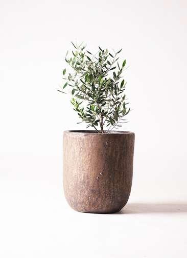 観葉植物 オリーブの木 6号 コロネイキ ビトロウーヌム コッパー釉 付き