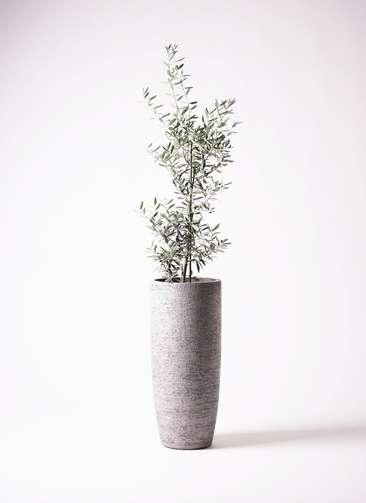 観葉植物 オリーブの木 8号 チプレッシーノ エコストーントールタイプ Gray 付き