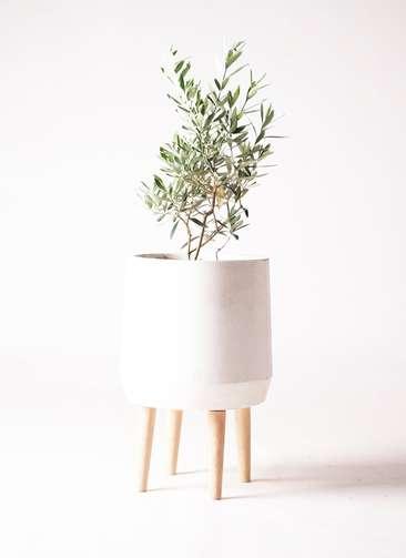 観葉植物 オリーブの木 6号 チプレッシーノ ファイバークレイ white 付き
