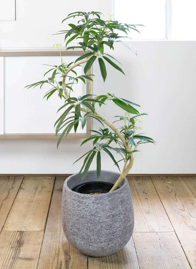 観葉植物 シェフレラ アンガスティフォリア 8号 曲り エコストーンGray 付き