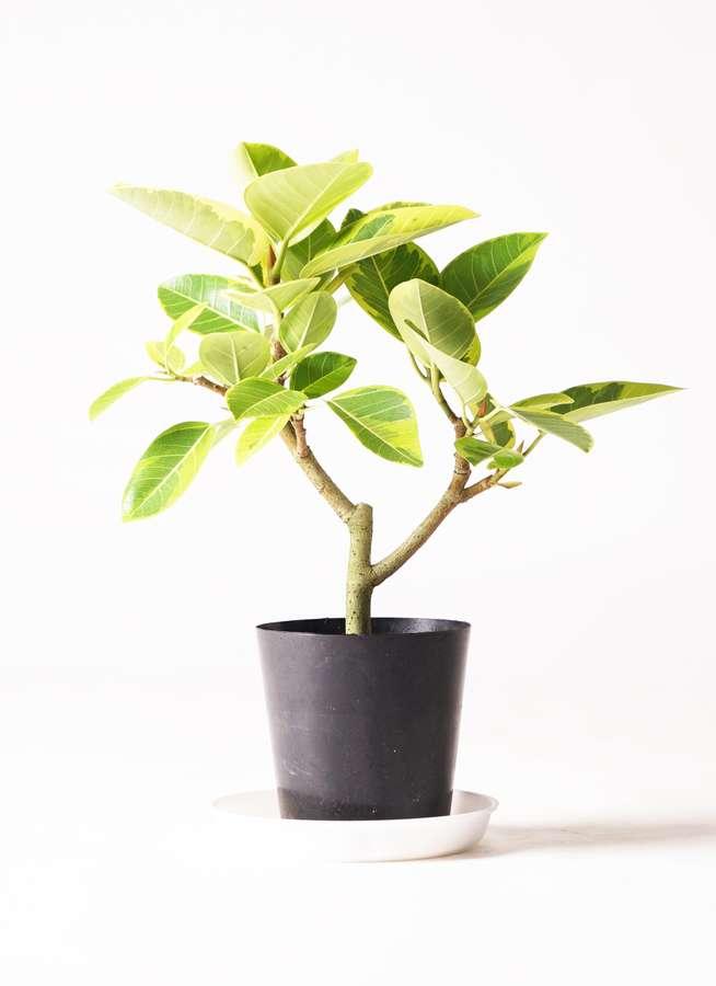 観葉植物 フィカス アルテシーマ 6号 ストレート プラスチック鉢