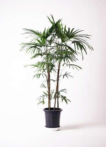 観葉植物  シュロチク(棕櫚竹) 10号 プラスチック鉢