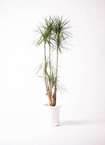 観葉植物 ドラセナ コンシンネ 10号 寄せ プラスチック鉢