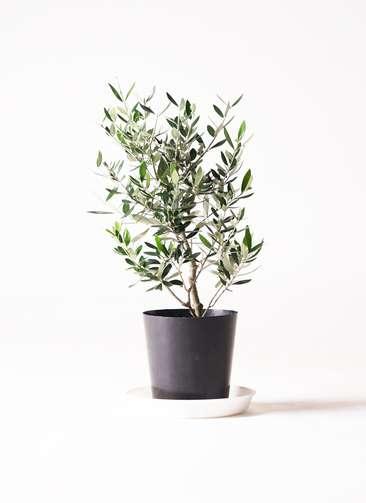 観葉植物 オリーブの木 6号 コロネイキ プラスチック鉢