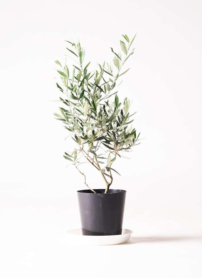 観葉植物 オリーブの木 6号 チプレッシーノ プラスチック鉢
