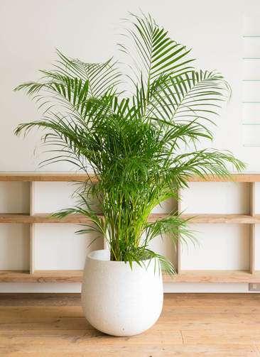 観葉植物 アレカヤシ 10号 エコストーンwhite 付き