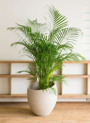 観葉植物 アレカヤシ 10号 エコストーンLight Gray 付き