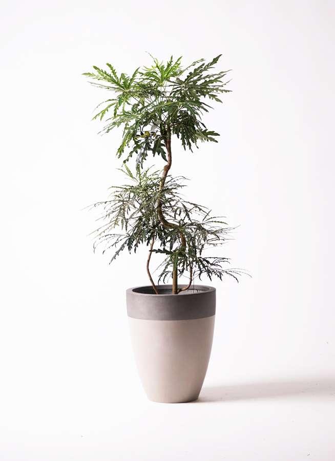 観葉植物 グリーンアラレア 8号 曲り ファイバーストーンカプリ サンディホワイト 付き