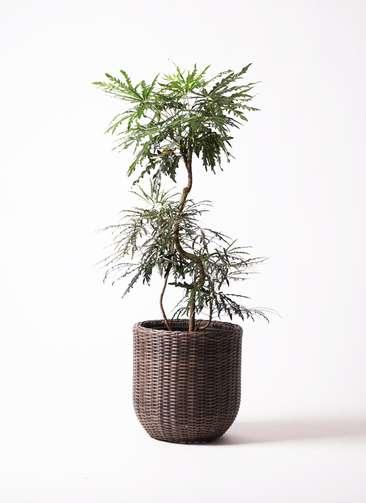 観葉植物 グリーンアラレア 8号 曲り ウィッカーポットエッグ 茶 付き