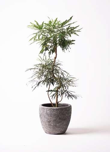 観葉植物 グリーンアラレア 8号 曲り アビスソニアミドル 灰 付き