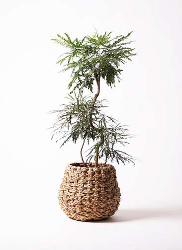 観葉植物 グリーンアラレア 8号 曲り ラッシュバスケット Natural 付き