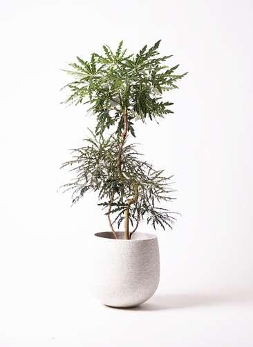 観葉植物 グリーンアラレア 8号 曲り エコストーンwhite 付き