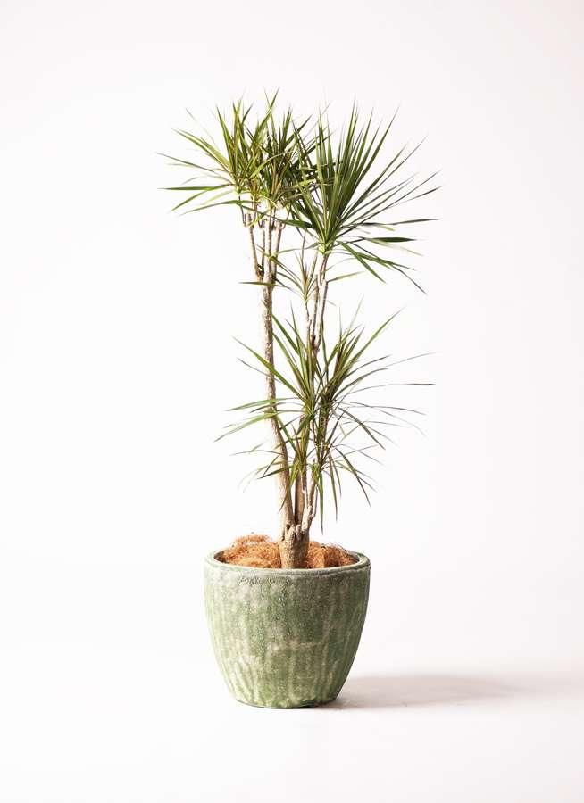 観葉植物 ドラセナ コンシンネ 8号 アビスソニア ミドル 緑 付き