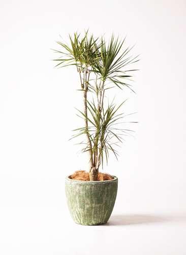 観葉植物 ドラセナ コンシンネ 8号 寄せ アビスソニア ミドル 緑 付き