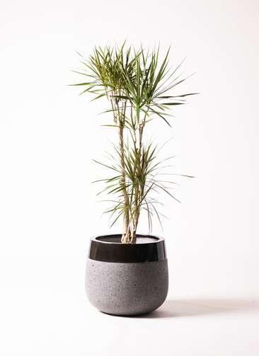 観葉植物 ドラセナ コンシンネ 8号 寄せ ファイバーストーン タウルス ミドル 黒 付き