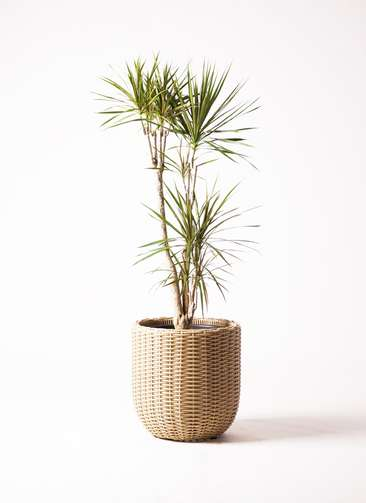 観葉植物 ドラセナ コンシンネ 8号 ウィッカーポット エッグ NT ベージュ 付き