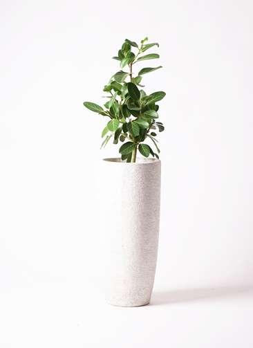 観葉植物   フィカス ベンガレンシス 7号 ストレート エコストーントールタイプ white 付き