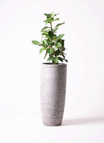 観葉植物 フィカス ベンガレンシス 7号 ストレート エコストーントールタイプ Gray 付き