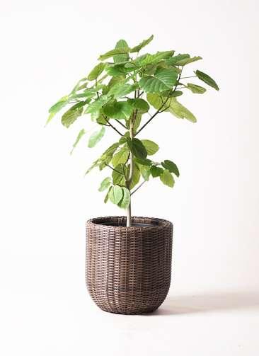 観葉植物 フィカス ウンベラータ 8号 ノーマル ウィッカーポット エッグ NT 茶 付き