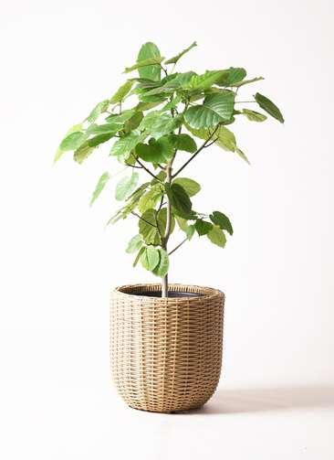 観葉植物 フィカス ウンベラータ 8号 ノーマル ウィッカーポット エッグ NT ベージュ 付き