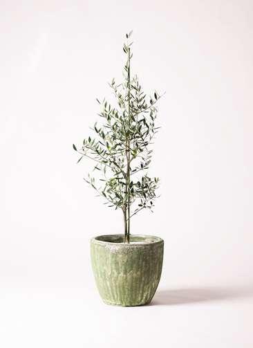 観葉植物 オリーブの木 8号 コロネイキ アビスソニアミドル 緑 付き