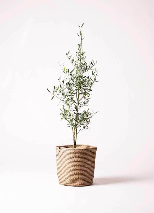 観葉植物 オリーブの木 8号 コロネイキ リブバスケットNatural 付き