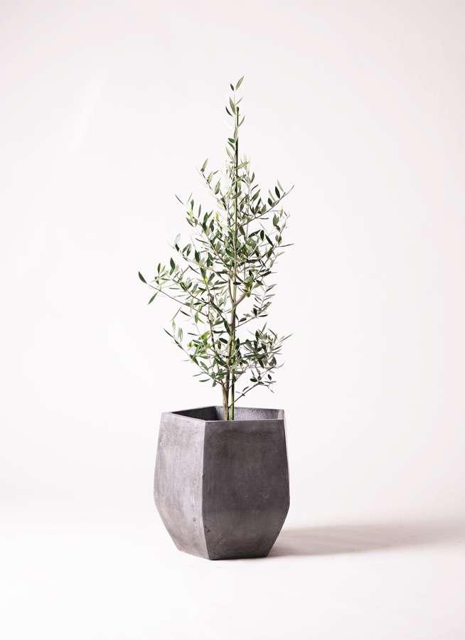 観葉植物 オリーブの木 8号 コロネイキ ファイバークレイ Gray 付き