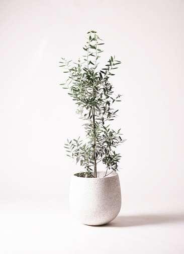 観葉植物 オリーブの木 8号 チプレッシーノ エコストーンwhite 付き
