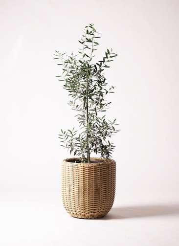 観葉植物   オリーブの木 8号 チプレッシーノ ウィッカーポットエッグNT ベージュ 付き