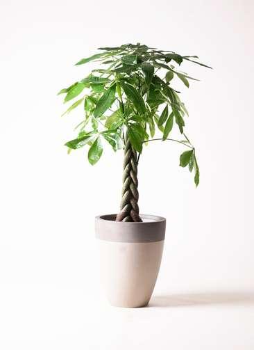 観葉植物 パキラ 8号 ねじり ファイバーストーンカプリ サンディホワイト 付き