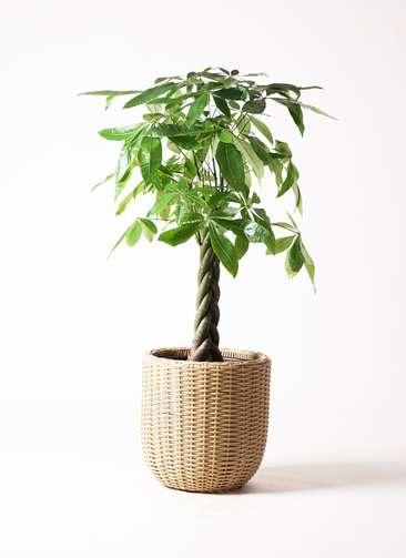 観葉植物 パキラ 8号 ねじり ウィッカーポット エッグ NT ベージュ 付き