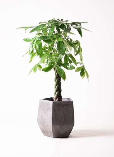 観葉植物 パキラ 8号 ねじり ファイバークレイ Gray 付き