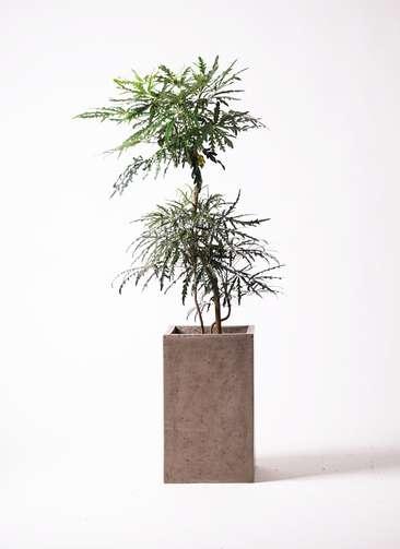観葉植物   グリーンアラレア 8号 曲り セドナロング グレイ 付き