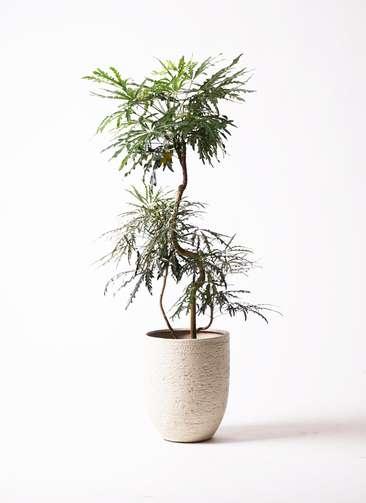 観葉植物 グリーンアラレア 8号 曲り ビアスアルトエッグ 白 付き