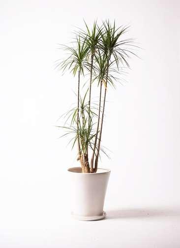 観葉植物 ドラセナ コンシンネ 10号 サブリナ 白 付き