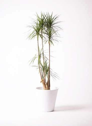 観葉植物 ドラセナ コンシンネ 10号 フォリオソリッド 白 付き