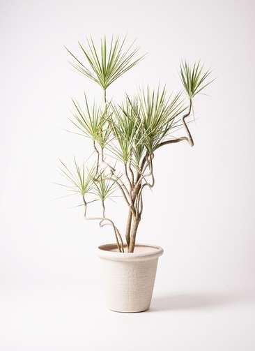 観葉植物 コンシンネ ホワイポリー 10号 曲り ビアスリムス 白 付き